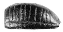 kleine scheuer - larve - links